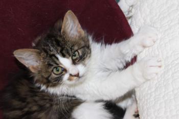 KočkaKocovinaKotě · Kotě, Sedící, Silueta, Kočka, Černá.