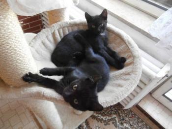 oholené černé kočička fotky