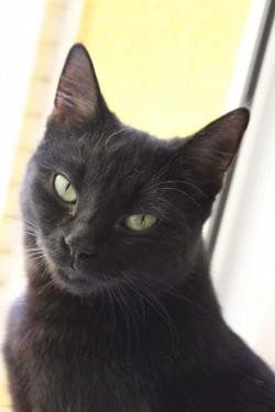 Tlustá černá kočička olízl